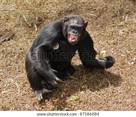 sunny outdoor shot in Uganda (Africa) showing a chimpanzee sitting on brown grassy ground while eating with bare teeth - stock photo