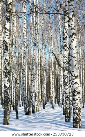 Sunny pathway in winter birch forest on blue sky - stock photo