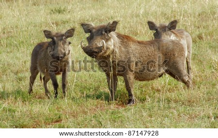 sunny scenery with 3 warthogs standing in grassy ambiance in Uganda (Africa) - stock photo