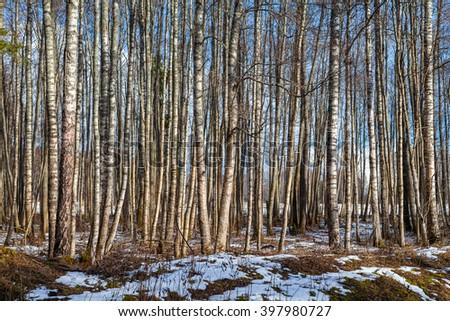 Sunny trunks of birch trees - winter serenity. - stock photo