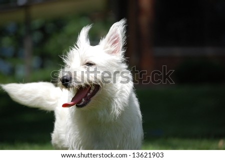 Sunny Westie - stock photo