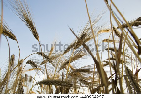 sunny wheat field - stock photo