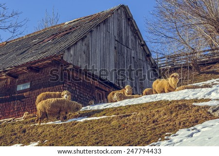 Sunny winter scene with traditional Romanian wooden hut and sheep grazing nearby in Magura village, Brasov count, Romania. - stock photo