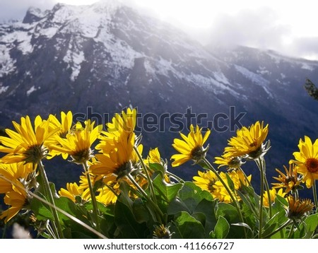 Sunny Yellow Flowers and Snow Capped Mountains in Spring.  Fourth of July trail near Leavenworth and Seattle, Washington State, USA.  - stock photo