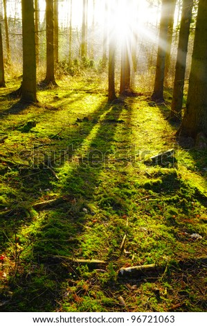 Sunrise in pine forest late autumn - stock photo