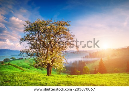 Sunrise in the Carpathian misty village with lonely tree on a green hill and valley in golden morning light - stock photo