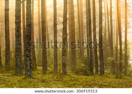 Sunrise in the forest with fog and sunbeams in August morning. - stock photo
