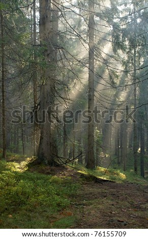 Sunrise in the spruce forest - stock photo