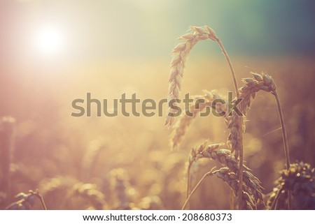 sunrise on the summer wheat field with meadow grass - stock photo