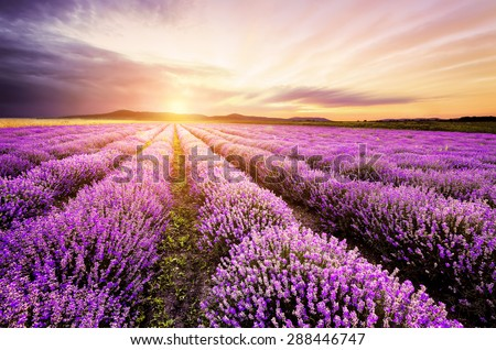 Sunrise over lavender field in Bulgaria - stock photo