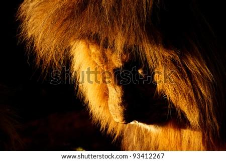 Sunrise Simba - stock photo