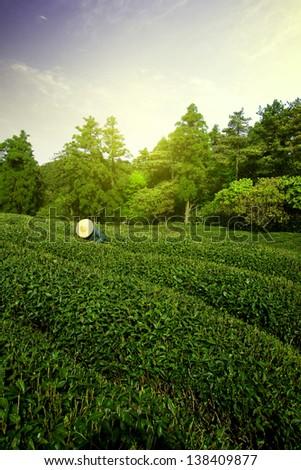 Sunrise tea farmers pick tea - stock photo