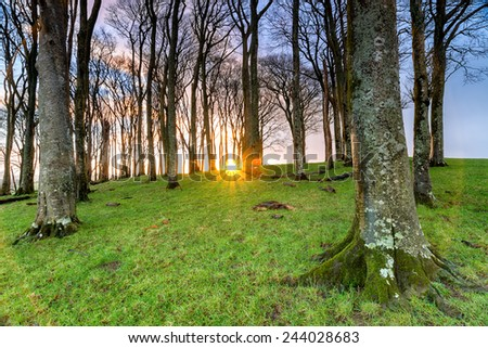 Sunrise through a small forest of Beech trees - stock photo