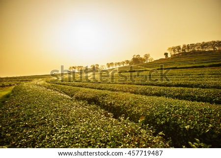 Sunrise view of tea plantation landscape - stock photo