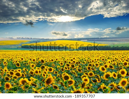 Sunrise with a dramatic sky over sunflower fields - stock photo