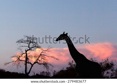 sunset and giraffe in silhouette in Africa, Namibia - stock photo
