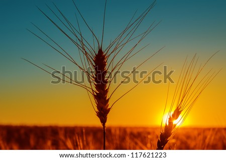 sunset and harvest field - stock photo