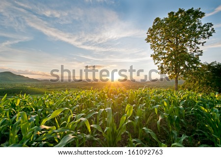 sunset at the corn field - stock photo