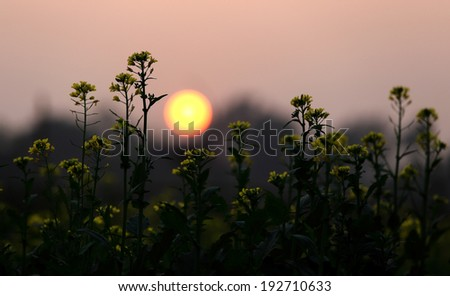 Sunset behind a Mustard field in bangladesh - stock photo