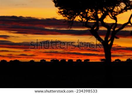 Sunset in Masai Mara with wildebeest on the horizon - stock photo
