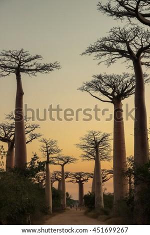 Sunset in the famous Avenida de Baobab near Morondava in Madagascar - stock photo