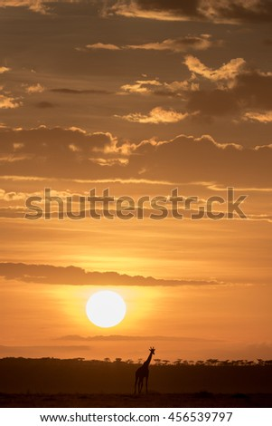 Sunset in the Masai Mara with a giraffe in silhouette. - stock photo
