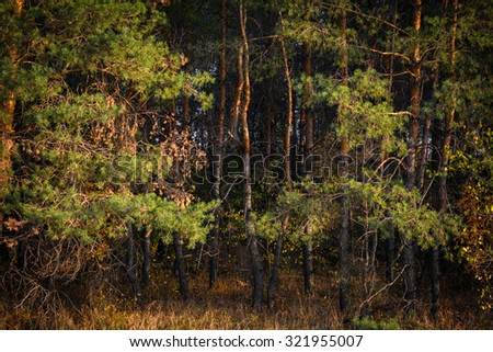 Sunset in the woods with trees of pine - stock photo
