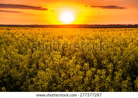 sunset in yellow rapeseed field, spring landscape - stock photo