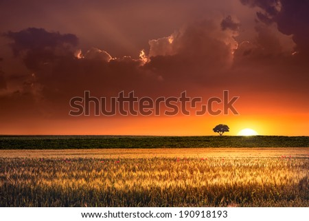 Sunset, lonely tree and wheat fields - stock photo