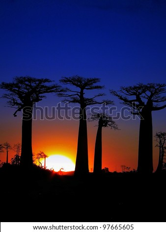 Sunset of the Baobab trees in Madagascar - stock photo