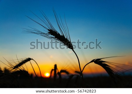 sunset on field at summer. ears of wheat sun against - stock photo
