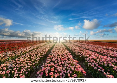 Sunset on the blooming tulips field - stock photo