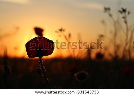 Sunset on the poppy field  - stock photo