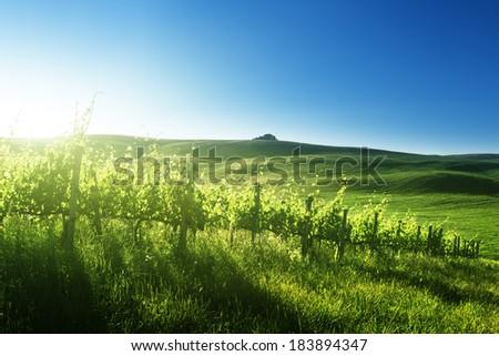 sunset  on vineyard  Tuscany, Italy - stock photo