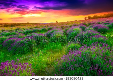 Sunset over a summer lavender field in Tihany, Hungary- This photo make HDR shot - stock photo