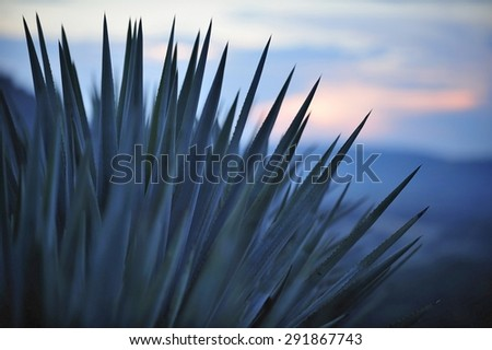 Sunset over Agave field for Tequila production, Jalisco, Mexico - stock photo