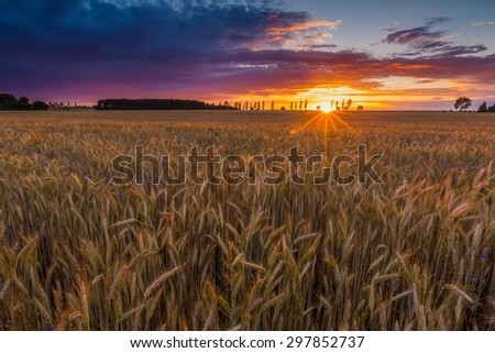 Sunset over cereal field with grown up ears. Beautiful rural countryside landscape. - stock photo