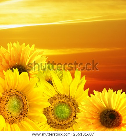 Sunset over the field of sunflowers - stock photo