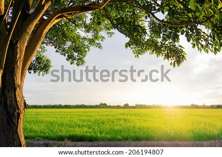 Sunset over the rice fields Splash of bright light on the tree with trees are a beautiful frame, Emphasis on bright images. - stock photo