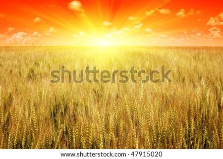 Sunset over wheat field. - stock photo