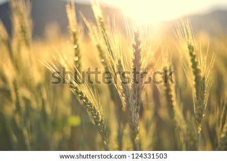 Sunset over wheat field with golden colors - stock photo