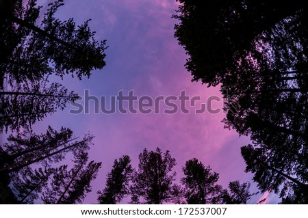 Sunset sky through forest canopy - stock photo