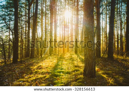 Sunset Sunrise In Spring Coniferous Forest Trees. Nature Woods. HDR - stock photo