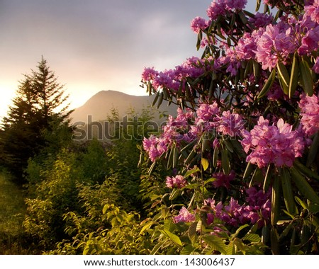 Sunset view on the Blue Ridge Parkway of Mount Mitchell and Pink Rhododendrons. - stock photo