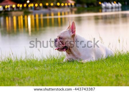 Sunshine French Bulldog - stock photo