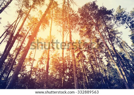 Sunshine in pine forest. Filtered image. - stock photo