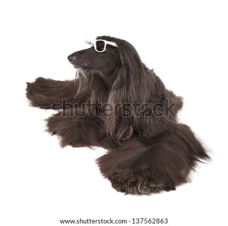 Sunward Edelweiss Afghan Hound International Champion, Champion of Eurasia-2013 Dog Show - stock photo