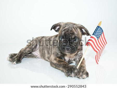 Super cute Bulldog puppy laying on a white background with an American flag with a sweet look on his face. - stock photo