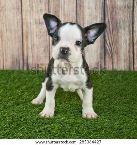 Super cute Fenchton puppy standing in the grass outdoors with a sweet look on his face. - stock photo
