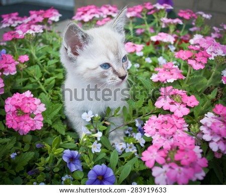 Super cute Siamese kitten standing in a basket of flowers. - stock photo
